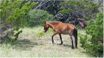 Banker Horse on Shackleford Island